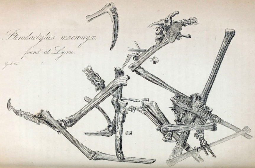 img_06(Pterodactylus_macronyx)
